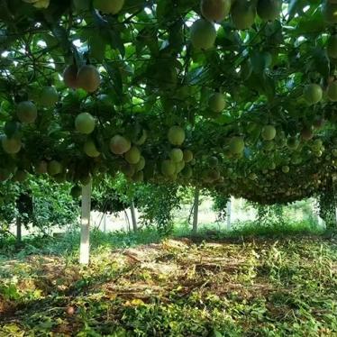 盛畅百香果果园